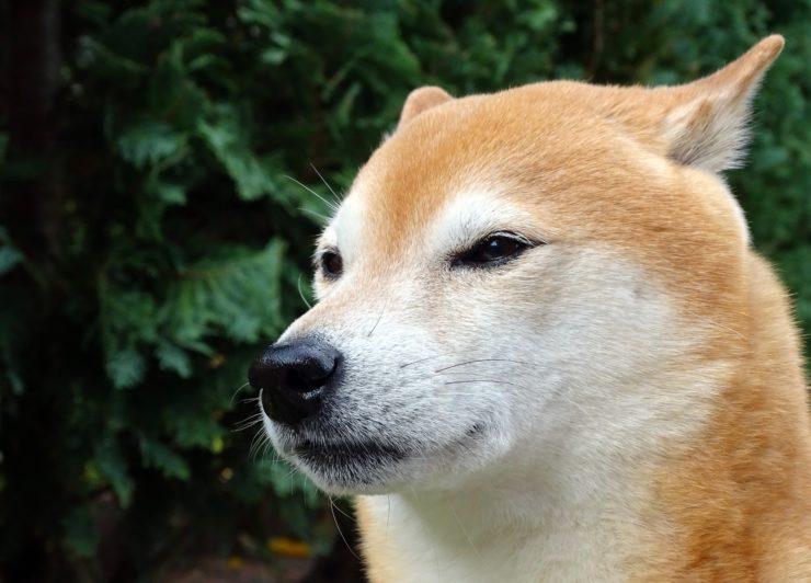 shiba inu, chiba inu, chien japonais